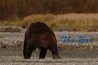 Grizzley Bear Fishing in Katmai, Alaska