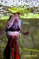 BY03-054z  Siamese Fighting Fish - male making protective bubble nest for eggs - Betta splendens