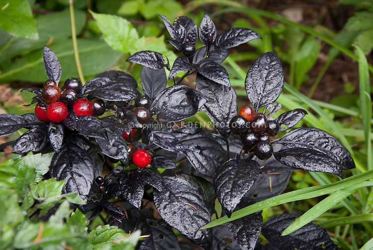 Pepper Black Ball turning red, vegetable ornamental with black foliage, dark leaved, purple leaves, Capsicum