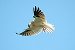 Accipter fasciatus -Brown Goshawk