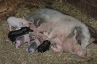 Hängebauchschwein, Ferkel, Jungtiere werden von Mutter, Sau gesäugt, Vietnamesisches Hängebauchschwein, Hängebauch-Schwein, Hausschwein, Haus-Schwein, Schwein, Schweine, Hausschweinrasse, Schweinerasse, Sus scrofa f. domestica, hog, pig, pigs, swine, pot-bellied pig, domesticated pig