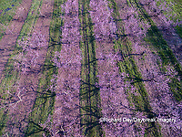 63801-11814 Peach orchard in spring-aerial  Marion Co. IL