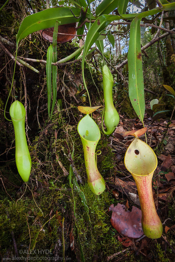 Upper pitcher of Reinwardt's Pitcher Plant {Nepenthes reinwardtiana}. Montane mossy heath forest or 'kerangas' on the southern plateau of Maliau Basin, Sabah's 'Lost World', Borneo. Pitcher plants are carniverous, trapping invertebrate prey in their liquid-filled pitfall traps.