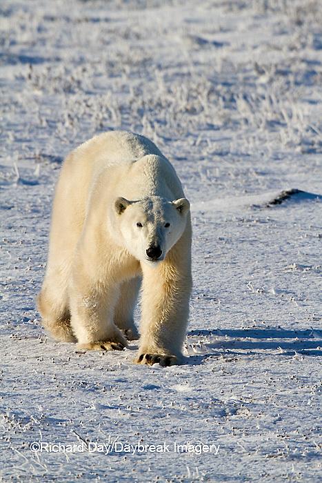 01874-12409 Polar bear (Ursus maritimus) walking in winter, Churchill Wildlife Management Area, Churchill, MB Canada