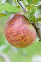 Apple 'Trumpington', mid September. An English dessert apple.