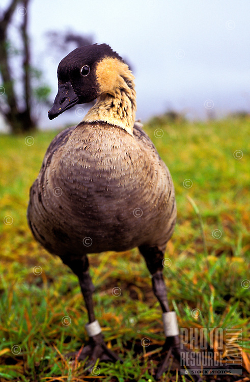 Closeup of an endangered nene bird (nesochen sandvicensis) at Hawaii Volcanoes National Park on the Big Island of Hawaii.