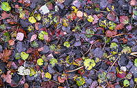 Solaro (Milano), Parco delle Groane, riserva naturale orientata Cà del Re. Foglie in autunno --- Solaro (Milan). Regional park Parco delle Groane, nature reserve Cà del Re. Autumn leaves