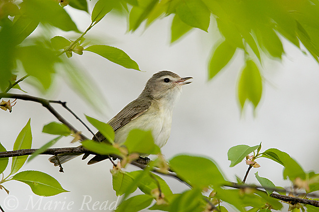 Warbling Vireo (Vireo gilvus) singing in spring, New York, USA