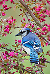 Blue Jay perched in a crabapple tree