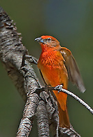 580960003v a wild male hepatic tanager piranga flava perches on a tree limb on mount lemmon tucson arizona united states
