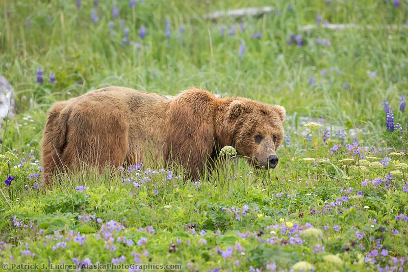 Coastal brown bear amidst the rich green fields of lupine, wildflowers and vegetation along the Alaska Peninsula coast, Katmai National Park, southwest, Alaska.