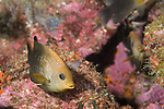 Sea of Cortez, Baja California, Mexico; an Acapulco Damselfish (Stegastes acapulcoensis) swimming over the rocky reef