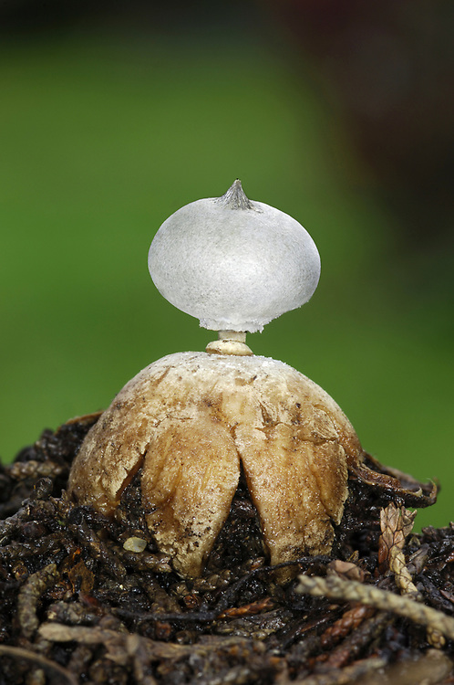 Striated Earthstar - Geastrum striatum