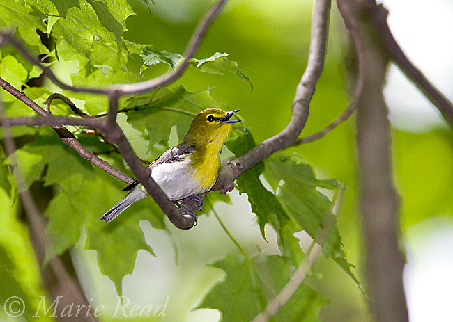 Yellow-throated Vireo (Vireo flavifrons), male singing in spring, New York, USA