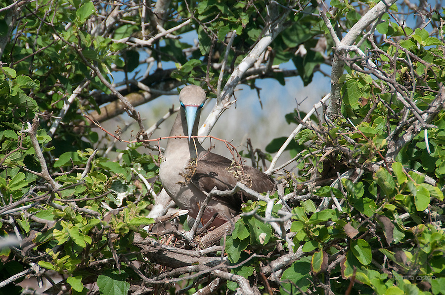 This red footed booby on the island Genovesa, Galapagos, just received a new twig from her husband. He is flying of and on and everytime he brings in a twig he gets something in return. She afterwards arranges the nest and waits for the next twig to come in