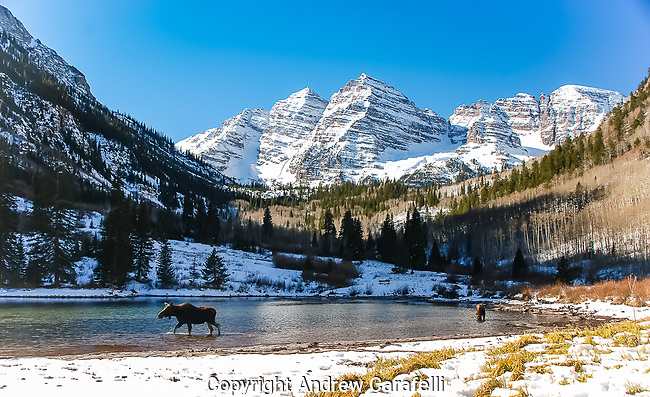 A cow and calf search for food in the bottom of Maroon Lake while the 14,000 foot Maroon Bells tower in the background.