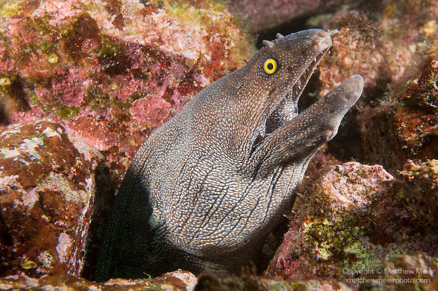 Sea of Cortez, Baja California, Mexico; a large Finespotted Moray Eel (Gymnothorax dovii) pokes it's head out of a hole in the rocky reef