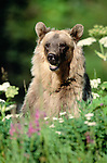 Grizzly bear (Ursus arctos) portrait, Glacier Bay National Park and Preserve, Alaska, USA
