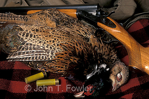 Ring-necked pheasant, game birds, Phasianus colchicus, upland hunting, wild poultry,  food, still life, classic side by side shotgun