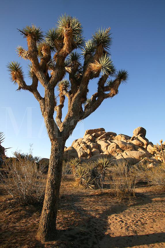 Yucca Tree (Yucca brevifolia?) and Jumbo Rocks.  Joshua Tree National Park,  California.