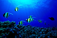 The Pennantfish ( Heniochus diphreutes) swims over the coral reefs of Hawaii.