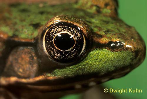 FR18-021z  Green Frog - adult - Lithobates clamitans, formerly Rana clamitans