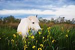 White Camargue horse feeding on yellow iris, Camargue, France