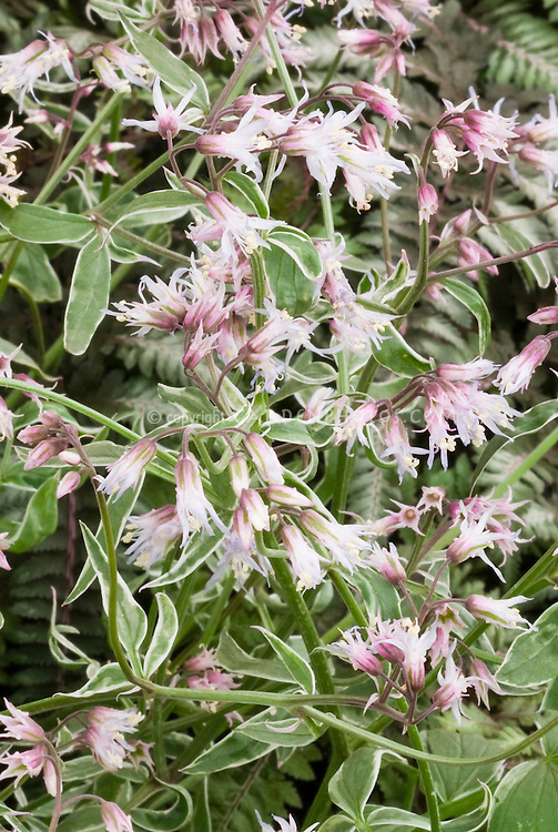 Jacob's Ladder Polemonium reptans Touch of Class in pink bloom, variegated shade garden perennial plant