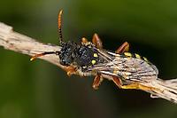 Wespenbiene, Kuckucksbiene, Wespen-Biene, Kuckucks-Biene, Nomada spec., cuckoo bee, cuckoo-bee, Wespenbienen, Kuckucksbienen, cuckoo bees, cuckoo-bees