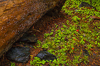 Paintbrush and Fallen Log, Hailstorm, Mono Pass Trail, Yosemite