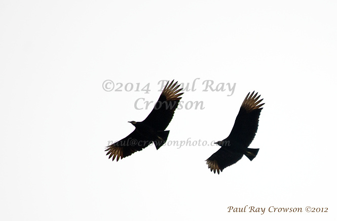 Common Vulture pair flyover