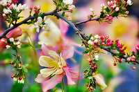 Crabapple (Sargentina Flowering Crabapple) with Columbine (Swan Pink and Yellow) . Oregon