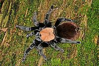 Vogelspinne, Brachypelma albiceps, Brachypelma ruhnaui, Mexican golden red rump tarantula, Amula red rump tarantula, Vogelspinnen, Theraphosidae, Aviculariidae, Tarantulas