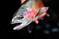A Bear Trap Canyon rainbow trout is released on the Madison River near Ennis, Montana.