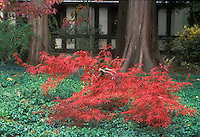 Acer palmatum var dissectum in red fall foliage color, in front of large tree trunks and traditional house