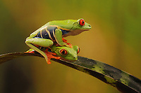 A red eyed tree frog crawls over the back of another