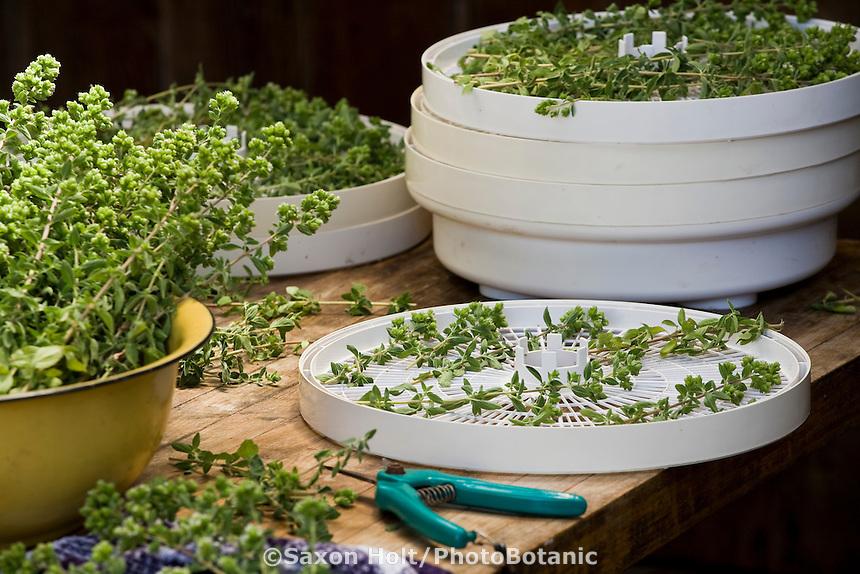 Drying oregano herb in air dryer