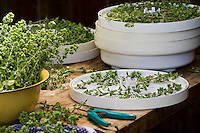 Drying oregano herb in air dryer
