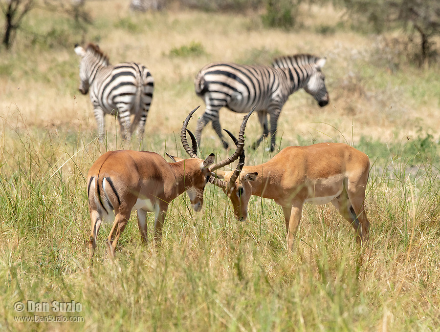 Two Common Impalas, Aepyceros melampus melampus, fight for dominance as two Grant's Zebras, Equus quagga boehmi, stand in the background in Tarangire National Park, Tanzania.