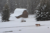 Snowy Barn, Jackson Hole, Wyoming