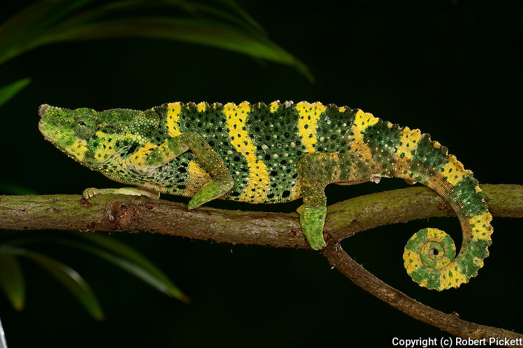 Panther Chameleon, Furcifer pardalis, on branch, yellow green colours, captive, pet, walking.Madagascar....