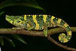 Panther Chameleon, Furcifer pardalis, on branch, yellow green colours, captive, pet, walking.Madagascar....