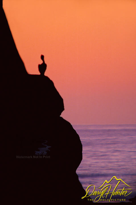 Pelican, sunset, Morro Rock, Morro Bay, California