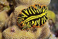Divided flatworm, Pseudoceros dimidiatus, off Kona Coast, Big Island, Hawaii, Pacific Ocean