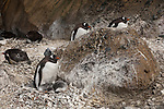 Gentoo penguins nest on Brown Bluff in the Antarctic Peninsula.