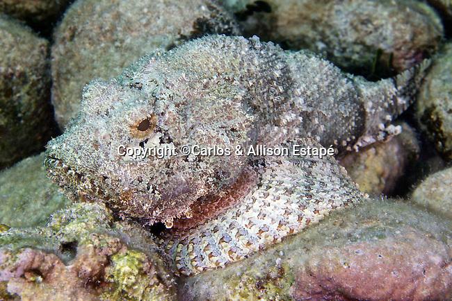 Scorpaena plumieri, Spotted scorpionfish, Florida Keys