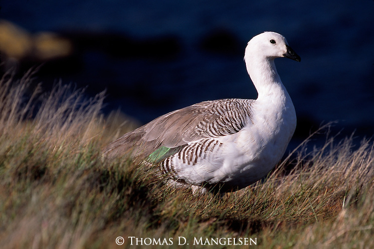 Portrait of Upland Goose in Falkland Islands.