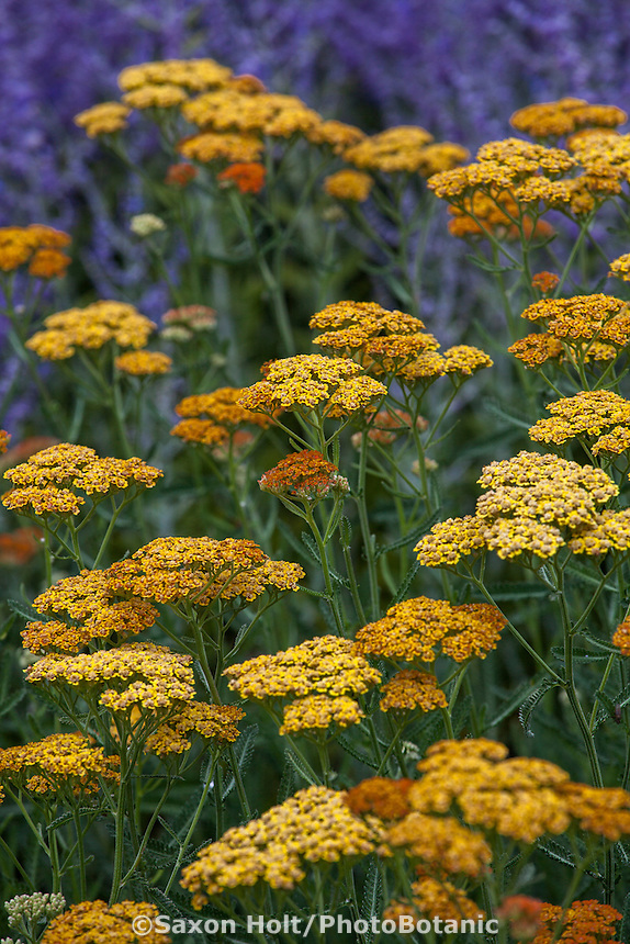 Achillea millefolium 'Terra Cotta' in front of blue catmint in perennial border