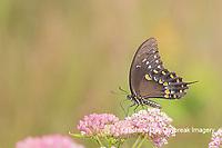 03029-01513 Spicebush Swallowtail (Papilio troilus) on Swamp Milkweed (Asclepias incarnata) Marion Co. IL