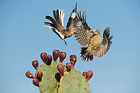 Northern Mockingbird (Mimus polyglottos), adult fighting with Golden-fronted Woodpecker (Melanerpes aurifrons) female over Texas Prickly Pear Cactus (Opuntia lindheimeri), Dinero, Lake Corpus Christi, South Texas, USA
